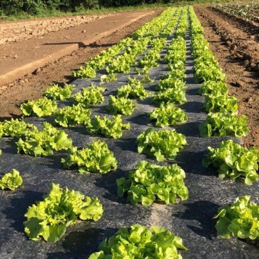 Salades direct producteur