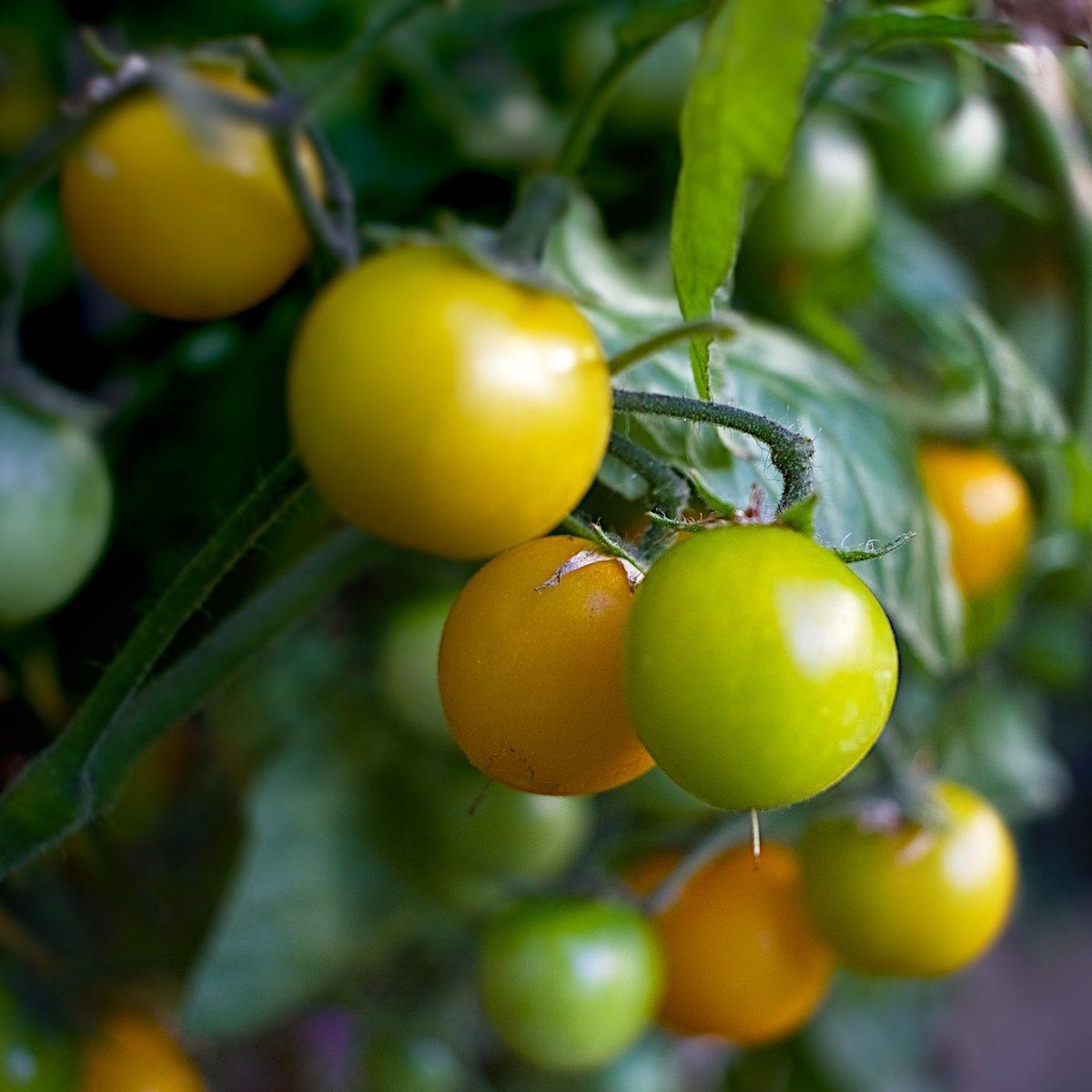 tomates-cerises-jaunes-producteurs