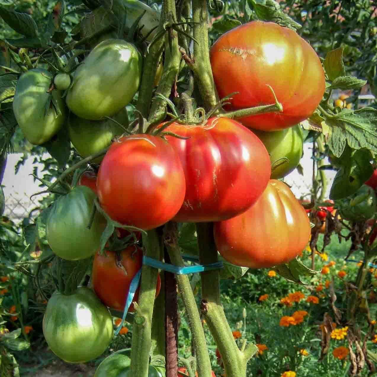 Tomates-anciennes-direct-producteur